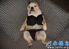 主人给狗狗穿上了比基尼