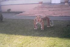 路上遇到一只好凶猛的华南虎
