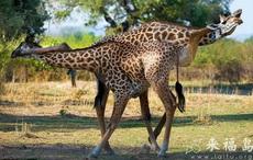 长颈鹿摔跤