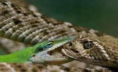 传说中的蛇吻