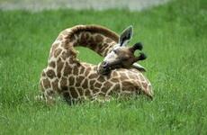 原来长颈鹿是这么睡觉的