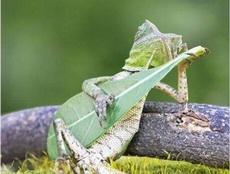 一只蜥蜴抱着吉他太忘我,靠在树枝上睡着了
