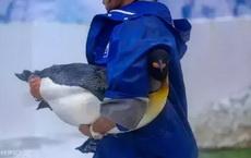 企鹅原来是这么抱的啊
