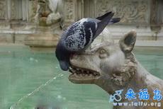 口渴的鸽子搞笑的喝水画面