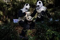 当时熊猫害怕极了