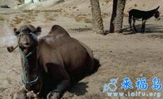 好酷的骆驼