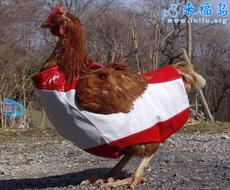 穿衣服的鸡